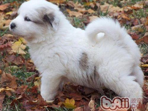 大白熊犬的寿命长吗-成犬饲养